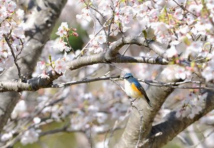 ルリビタキ桜