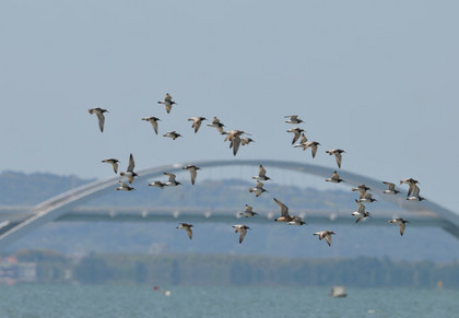 オバシギ飛ぶ橋