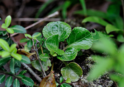 マルパノイチヤクソウ葉