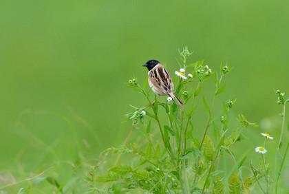 コジュリン♂花