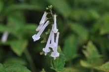アキチョウジ 白花