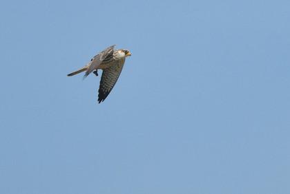 アカアシチョウゲンボウ飛ぶ