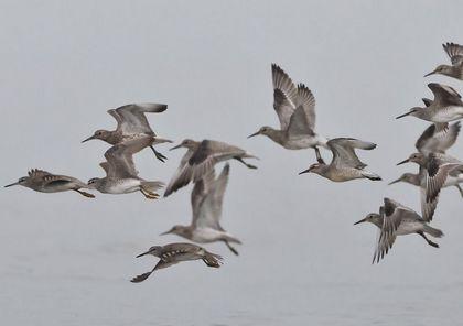 コオバシギキアシシギ飛ぶ
