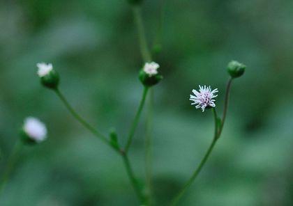 ヌマダイコン花