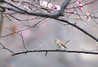 オジロビタキ梅枝