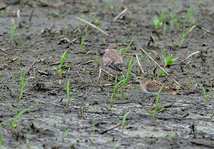 ヒバリシギとコチドリ