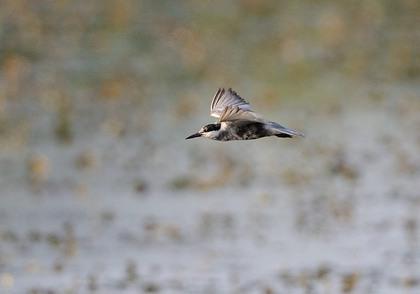 クロハラアジサシ飛ぶ