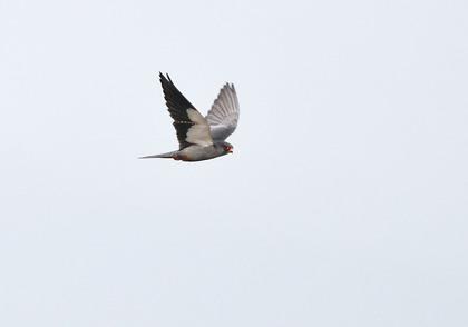 アカアシチョウゲンボウ♂飛ぶ