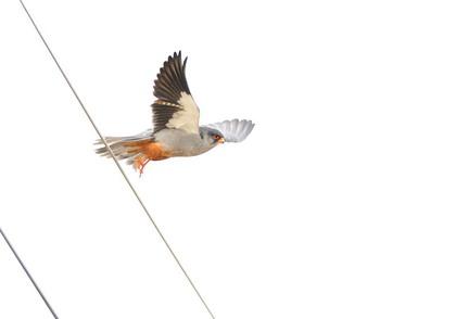 アカアシチョウゲンボウ♂飛出し