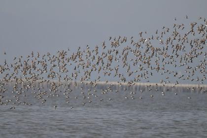 ハマシギ飛ぶ