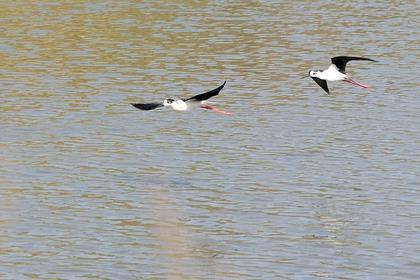 セイタカシギ飛ぶ