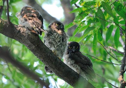 アオバズク 雛鳥3羽
