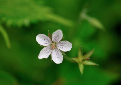 ゲンノショウコ 白花