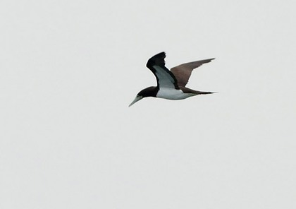 カツオドリ成鳥