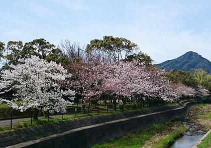 飯盛山と桜