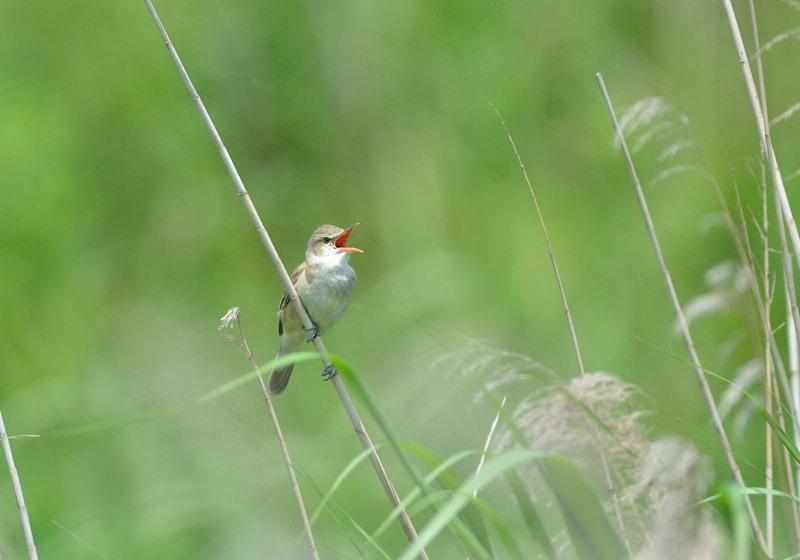 http://tori-mako.sakura.ne.jp/blog2/archives/image/1505/DSC_3710ooyoshikiri800.JPG